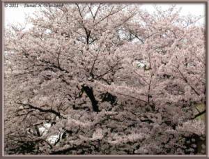Apr10_KoishikawaBotGar_044_CherryBlossomsRC