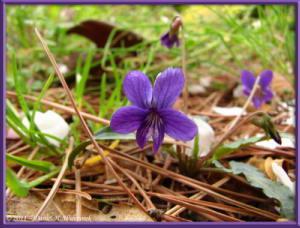 Apr10_KoishikawaBotGar_060_Viola_confusa_ssp_nagasakiensisRC