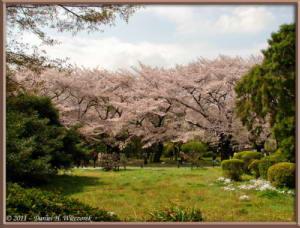 Apr10_KoishikawaBotGar_072_CherryBlossomsRC