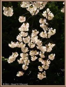 Apr10_KoishikawaBotGar_079_CherryBlossomsRC