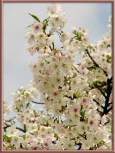 Apr10_KoishikawaBotGar_106_CherryBlossomsRC