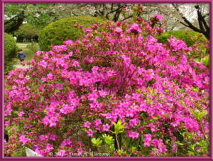Apr10_KoishikawaBotGar_111_RhododendronRC