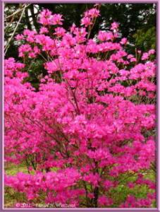 Apr10_KoishikawaBotGar_124_RhododendronRC