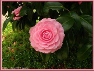 Apr10_KoishikawaBotGar_131_CamelliaRC