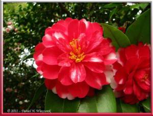 Apr10_KoishikawaBotGar_144_CamelliaRC