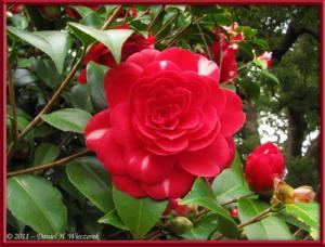 Apr10_KoishikawaBotGar_148_CamelliaRC