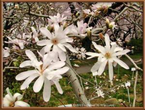 Apr10_KoishikawaBotGar_156_Magnolia_stellataRC