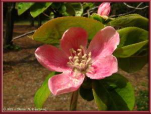 Apr10_KoishikawaBotGar_170_Chaenomeles_sinensisRC