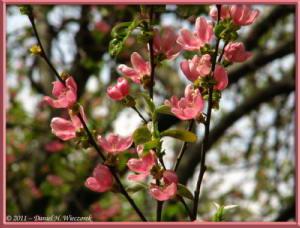 Apr10_KoishikawaBotGar_172_Chaenomeles_sinensisRC