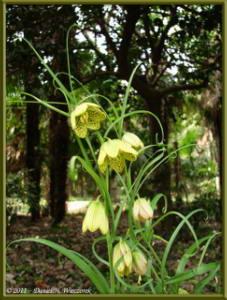 Apr10_KoishikawaBotGar_177_Fritillaria_verticillataRC