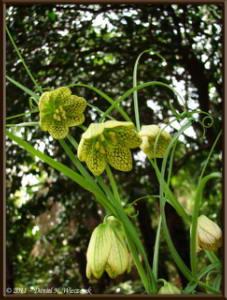 Apr10_KoishikawaBotGar_181_Fritillaria_verticillataRC