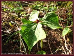 Apr15_MtKakuda_023_Trillium_smalliiRC