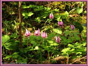 Apr15_MtKakuda_042_Erythronium_japonicumRC