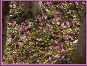 Apr15_MtKakuda_152_Erythronium_japonicumRC
