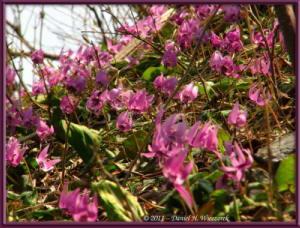 Apr15_MtKakuda_155_Erythronium_japonicumRC