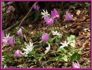 Apr15_MtKakuda_174_Erythronium_japonicumRC