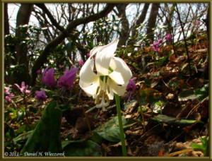 Apr15_MtKakuda_189_Erythronium_japonicum_WhiteRC