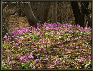Apr15_MtKakuda_192_Erythronium_japonicumRC