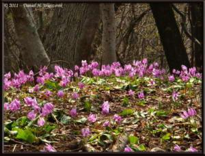 Apr15_MtKakuda_195_Erythronium_japonicumRC