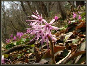 Apr15_MtKakuda_208_Heloniopsis_orientalisRC
