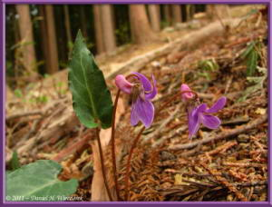 Apr17_Takamizu_092_Viola_violacea_var_makinoiRC