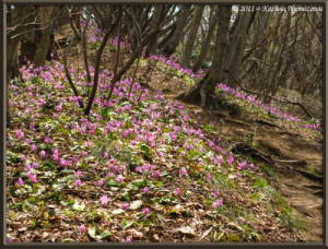 April15th_MtKakuda255_Erythronium_japonicumRC