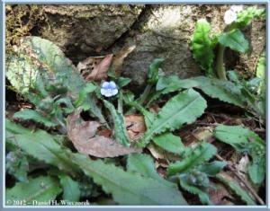Apr01_122_Kogesawa_Omphalodes_japonicaRC