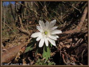 Apr01_142_HikageCk_Anemone_raddeanaRC