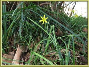 Apr01_155_TakaoCk_Gagea_luteaRC
