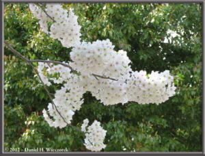 Apr06_107_ChidorigafuchiMoatCherryBlossomsRC