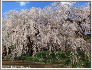 Apr06_201_ShinjukuGyoenPark_CherryBlossomsRC