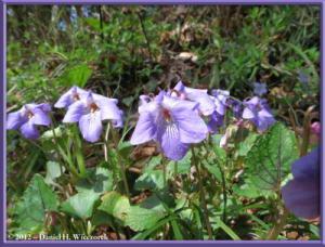 Apr13_04_SouthTakao_Viola_grypoceras_f_variegataRC
