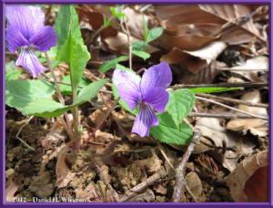 Apr13_10_SouthTakao_Viola_phalacrocarpa_f_glabberimaRC