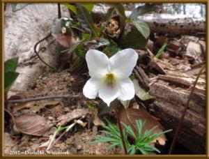 Apr13_113_SouthTakao_Viola_chaerophylloides_f_sieboldianaRC