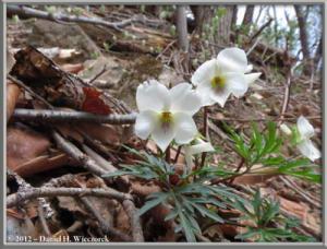 Apr13_116_SouthTakao_Viola_chaerophylloides_f_sieboldianaRC