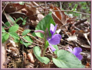 Apr13_11_SouthTakao_Viola_phalacrocarpa_f_glabberimaRC
