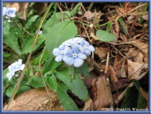 Apr13_173_SouthTakao_Omphalodes_japonicaRC