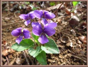 Apr13_36_SouthTakao_Viola_phalacrocarpa_f_glabberimaRC