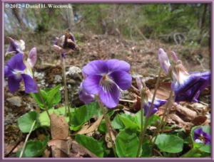Apr13_42_SouthTakao_Viola_obtusaRC