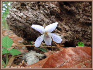 Apr13_56_SouthTakao_Viola_bissetiiRC