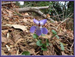 Apr13_78_SouthTakao_Viola_grypocerasRC