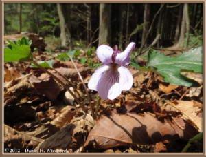 Apr28_059_PrefBndryBusStop_Viola_eizanensis_x_v_bissetii_RC