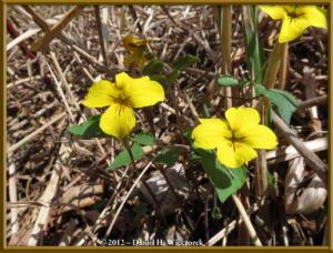 Apr28_118_NearAsagiriKogen_Viola_orientalis_RC