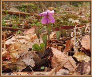 Apr29_123_KawaguchiLake_Viola_rossii_RC