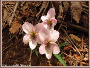 Apr29_197_KawaguchiLake_KachikachiRopewayTop_Viola_eizanensis_RC