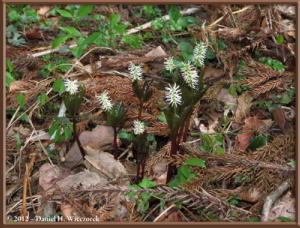Apr29_43_KawaguchiLake_Chloranthus_japonicus_RC