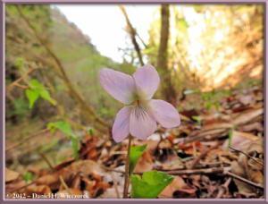 Apr29_83_KawaguchiLake_Viola_mirabilis_var_subglabra_RC