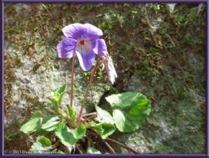 Apr05_073_Hikage_Viola_obtusaRC
