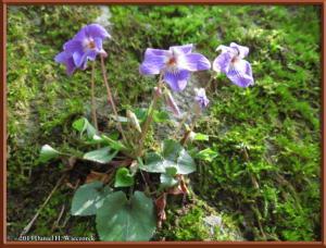 Apr05_076_Hikage_Viola_obtusaRC