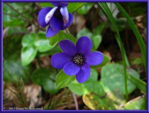 Apr13_015_MtKakuda_Hepatica_nobilis_var_japonica_f_magnaRC